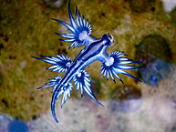 Blue_dragon-glaucus_atlanticus_(8599051974)
