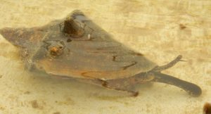 Conch-juvenile-300x225