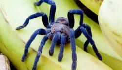 cobalt_blue_tarantula