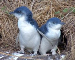 little-blue-penguin-300x240