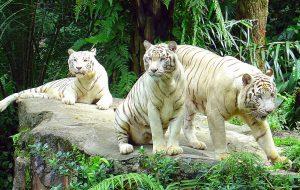 White_Tiger_2-300x190